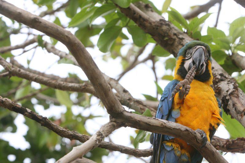 araguaia-aruana