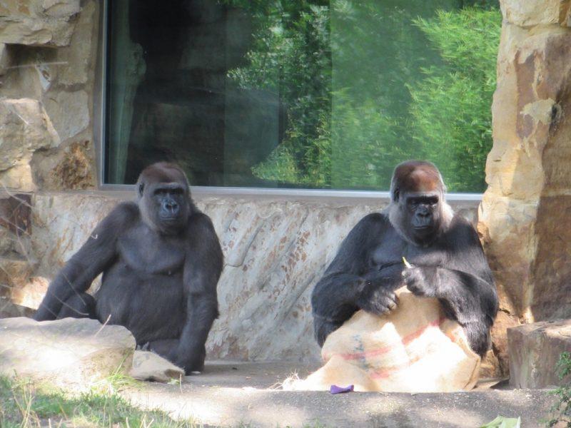 Gorilas no Zoológico de Berlim: preservação ou crueldade? / Foto: Rogério Borges