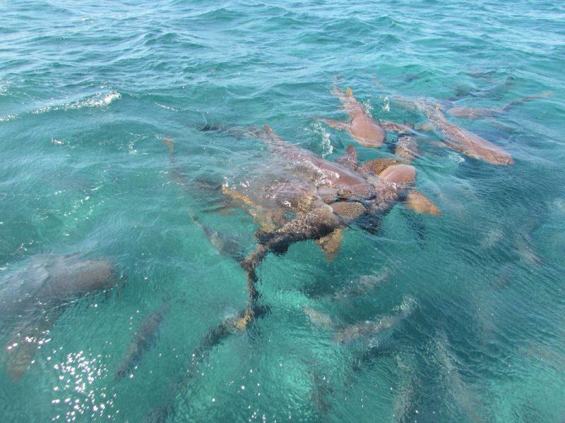 Mergulho com tubarões na barreira de corais de Belize: programa obrigatório. / Foto: Rogério Borges